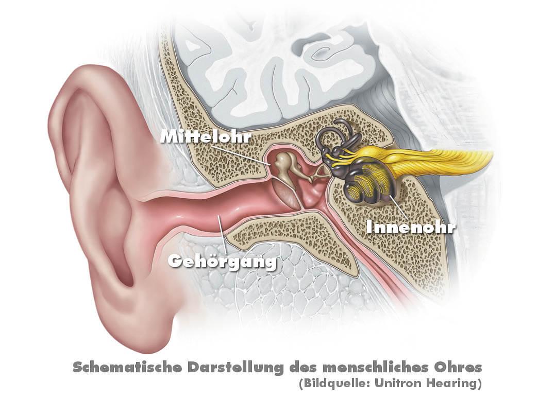 Das Innenohr: Die Hörschnecke
